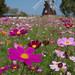 風車に見守られ咲き誇る - Cosmos garden -