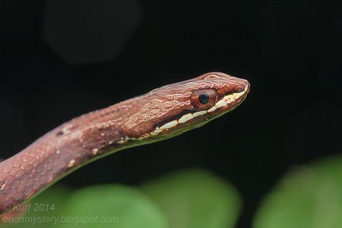 Mock Viper (Psammodynastes pulverulentus)IMG_4854 copy