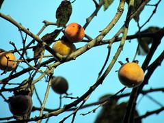 79 Persimmon Amnie Wilkerson Nature Preserve Raliegh NC 5898
