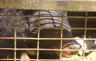 籠內的台灣黑熊