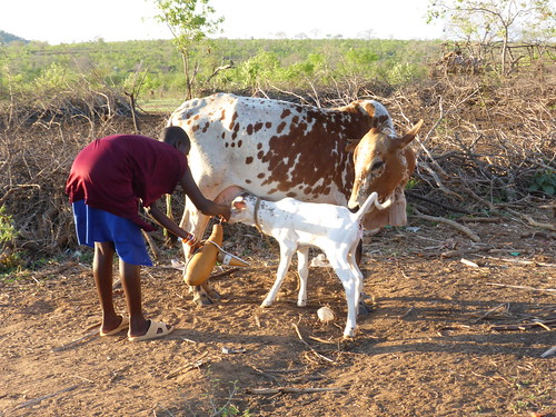 Milking a cow in Tanzania