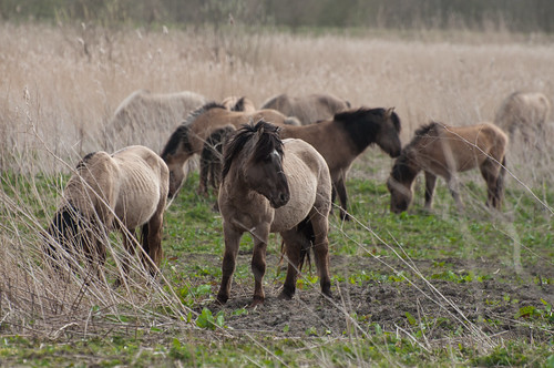 Konik horses by ~ Marjolein ~