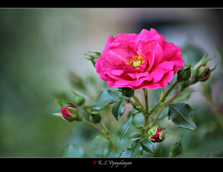 Rose @ Melbourne