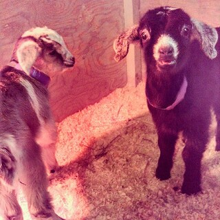 I love the look on the face of the little guy in the right! 4 days old and #toocute #babygoats #goats #love #newhampshire #farm I want him!