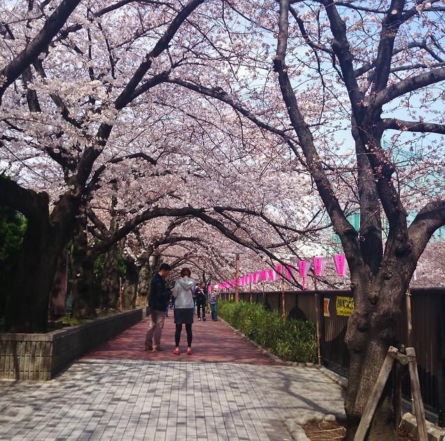 Cherry Blossom in NakaMeguro