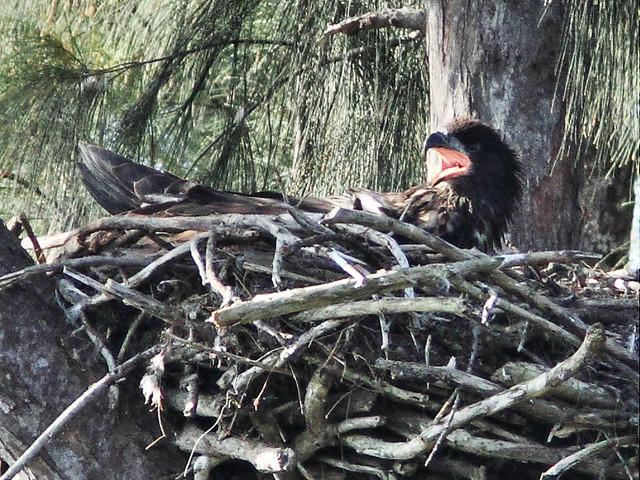 Bald Eagletcalling 20140409