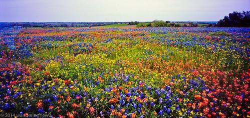 flower 120 film mediumformat texas bluebonnet panoramic wildflower filmscan indianpaintbrush texaswildflowers panoramiccamera 21panoramic 6x12 horseman6x12panoramiccamera horseman612panoramiccamera