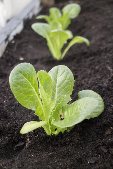 Seedling Planting Spring 2014_22