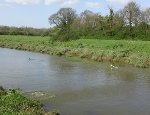 Duck-chasing dog in river Ouse