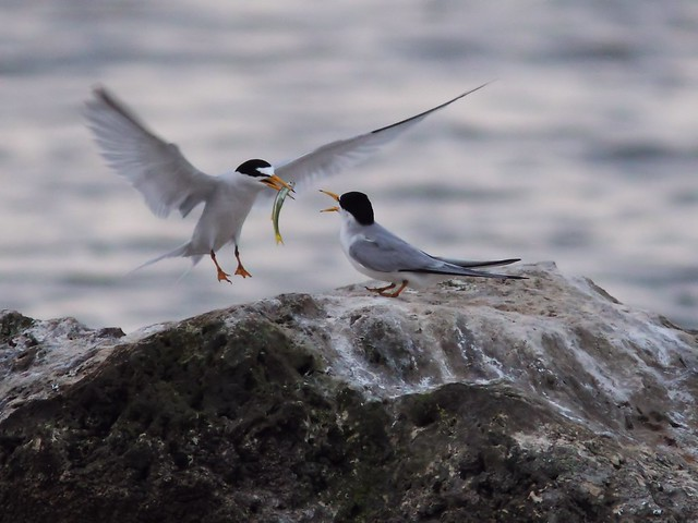 Least Tern feeding sequence 02-20140416
