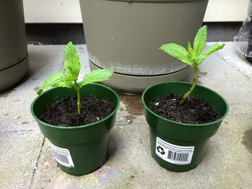 Rooted mints transfered in individual pots 2014-05-18