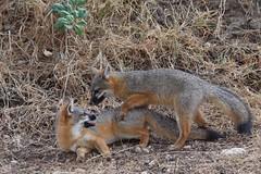 squirrel(0.0), jackal(0.0), red fox(0.0), kit fox(0.0), animal(1.0), mammal(1.0), grey fox(1.0), fauna(1.0), wildlife(1.0),