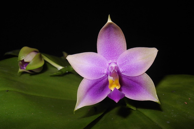 Phalaenopsis bellina x violacea (Samera) 19574901015_7437d150d4_c