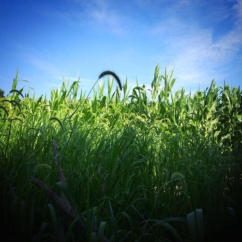 illinois corn cornfield farm farming il crop squareformat
