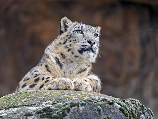 Snow leopard with nice eyes
