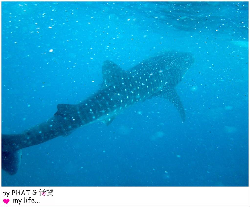 cebu whale shark 12-2