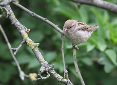 HolderHOUSE SPARROW .