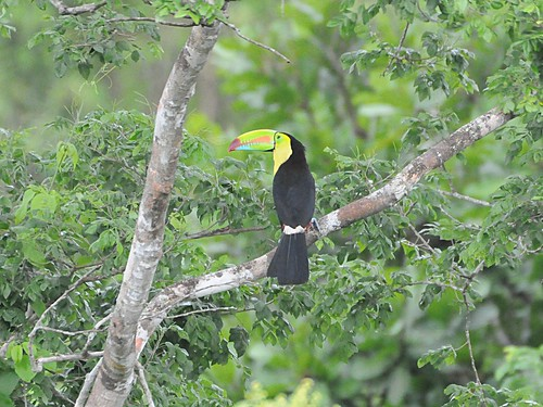 keelbilled toucan