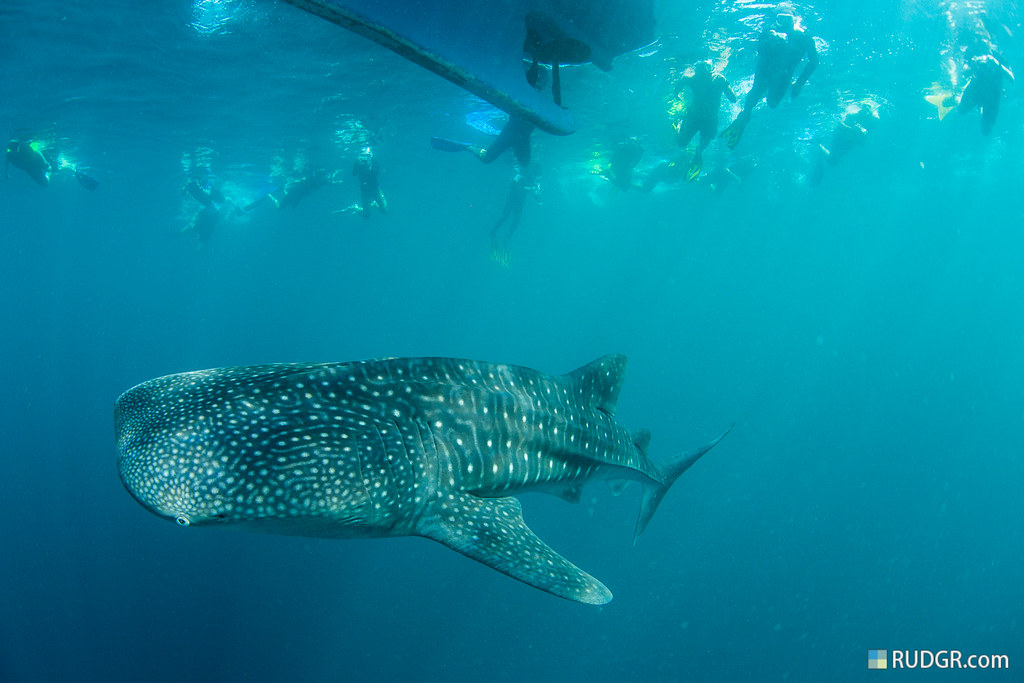 Snorkling with whalesharks
