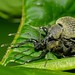 Small photo of Weevils (Curculionidae)