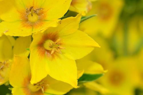 <p><i>Lysimachia punctata</i>, Primulaceae<br /> Colony Farm Regional Park, Coquitlam, British Columbia, Canada<br /> Nikon D5100, 105 mm f/2.8<br /> June 22, 2013</p>