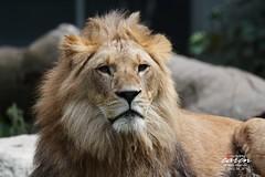 Löwen und Leoparden 2013_06_26