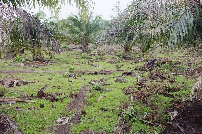 Ladang Kelapa Sawit Muar.
