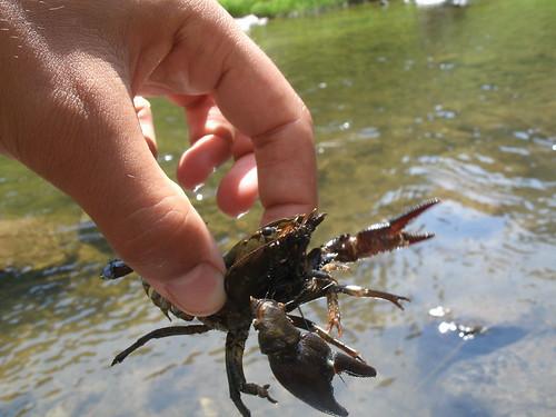 Crayfish (16)