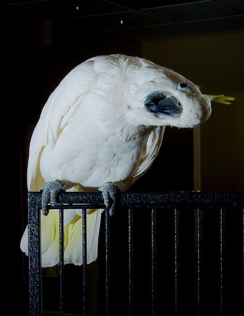 Sulphur-crested Cockatoo (Cacatua galerita)_26