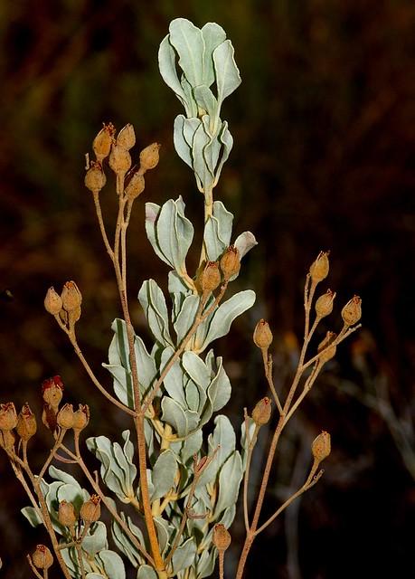 Halimium halimifolium (L.) Willk. subsp. halimifolium - CISTACEAE - Sierra de Mijas (Málaga) (10)