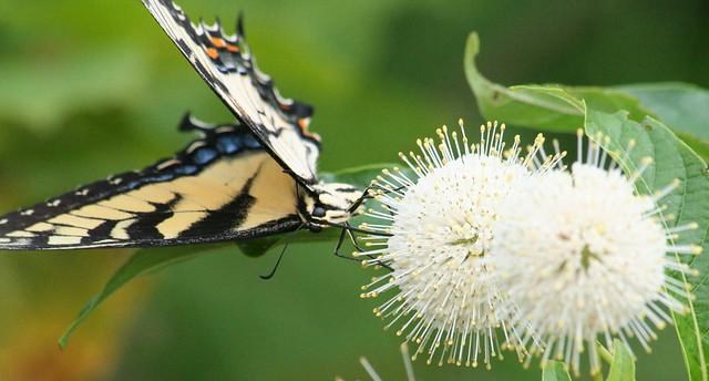 Tiger Swallowtail (2)