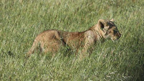 Cub in grass