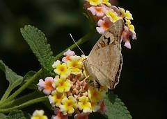 India - Butterflies