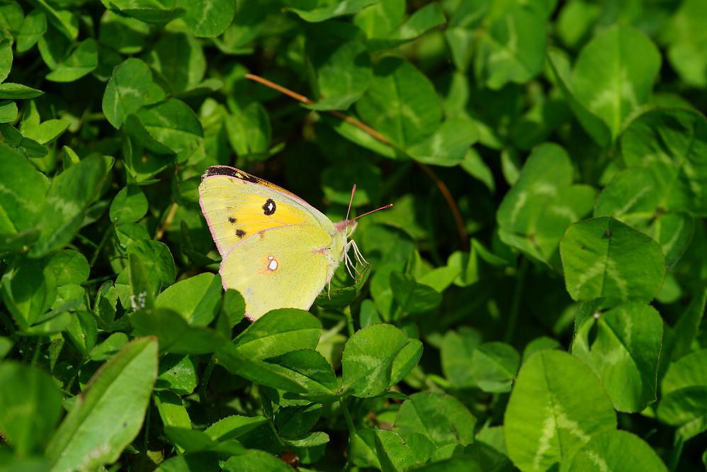 南亞粉蝶 colias fieldii-4