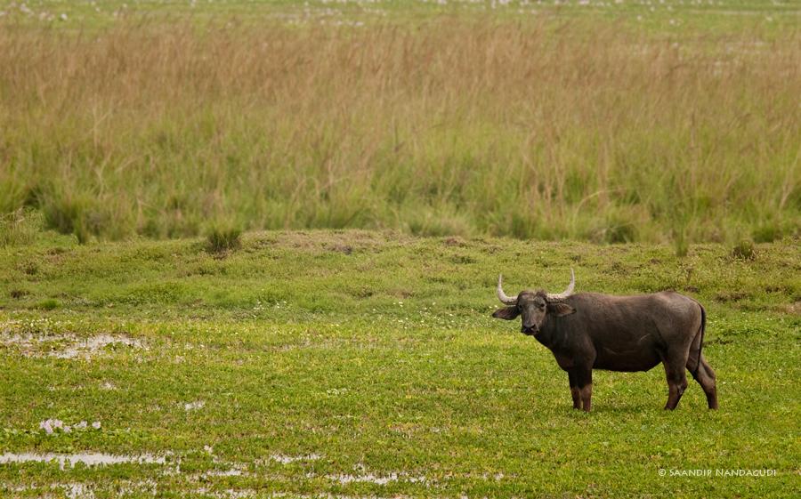 Wild-Buffalo-Pobitora