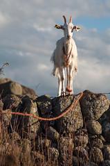 Une chèvre sur le mur - A goat on the wall