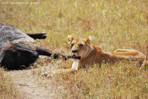 Lion@Masaai Mara