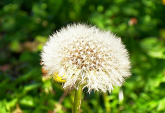 dandelion, flower, plant, nature, macro photography, wildflower, flora, produce, close-up, plant stem,