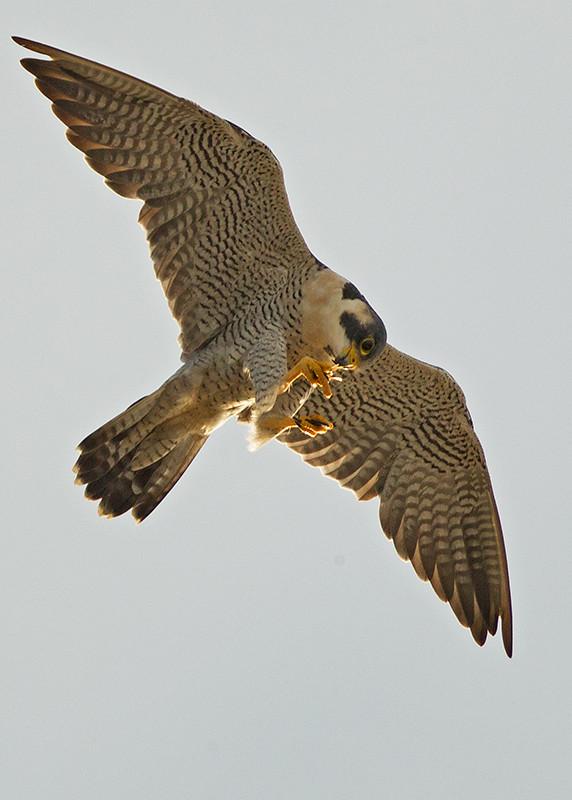 Peregrine Falcon 2014-01-21