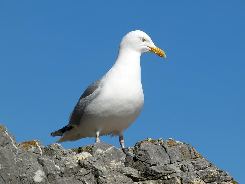 P1070094 - Herring Gull, Tenby