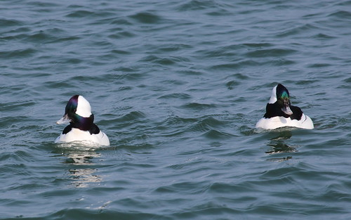 They are called buffleheads just because they are. by ricmcarthur