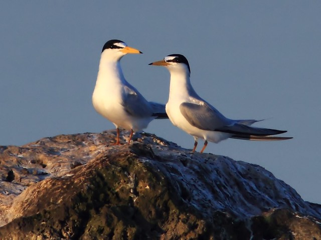 Least Terns 7-20140406