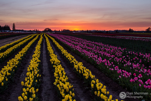 flowers light sunset sky clouds oregon spring unitedstates tulips pacificnorthwest woodburn tulipfields woodenshoetulipfestival
