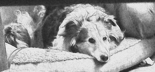 Maggie on dog bed sketch