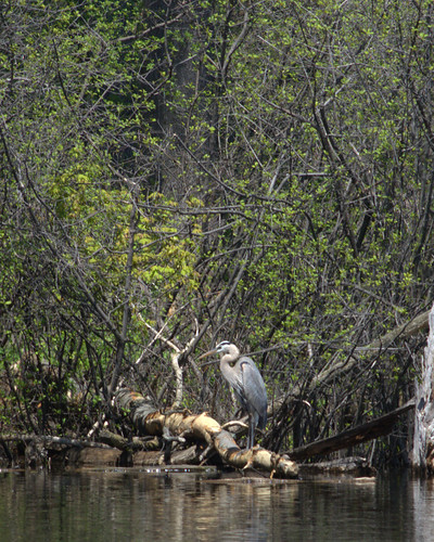 Lovely blue heron