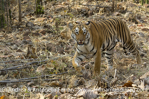 reefwondersdotnet posted a photo:	The Panderpauni range tigress, Tadoba National Park, Maharashtra, India. More great images on our free online magazine at www.animamundimag.com
