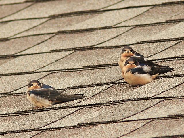 Barn Swallow fledglings 20150708