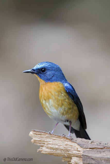 Hill blue flycatcher Cyornis, Canon EOS 7D, Canon EF 400mm f/4 DO IS II USM