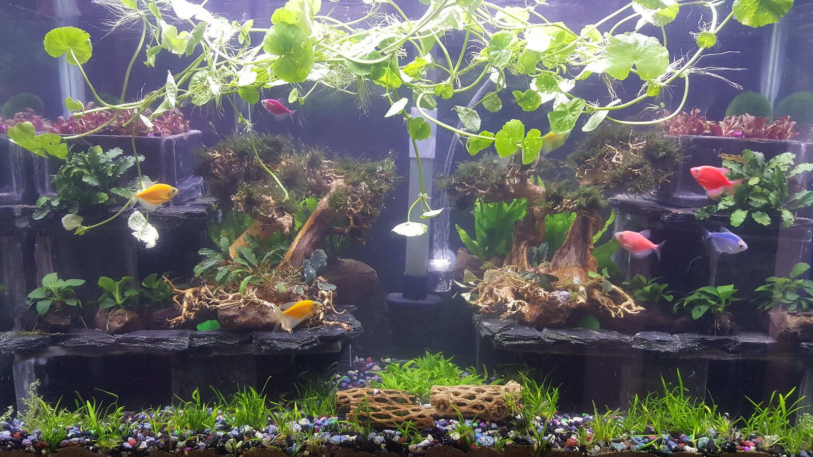 Again, Do You Like The Color?? Adding A More Red Rich Fixture Adds To The  Plants And Improves Color Overall.. Bonsai Aquascaping.