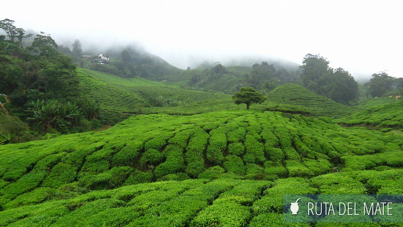 Cameron Highlands Malasia (6)